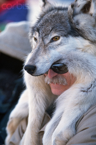 Arctic Timber Wolf Pelts Hides Skins Forclothing